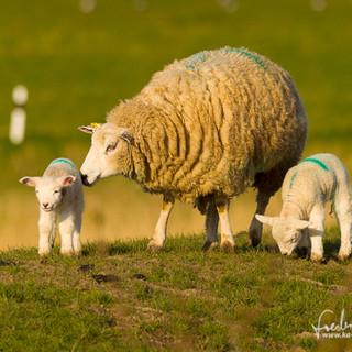 Schafe-022.jpg