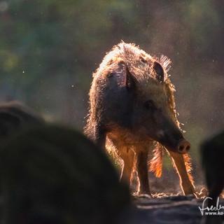 Wildschwein-3575.jpg