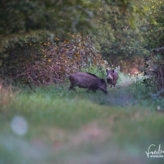 Wildschwein-0306.jpg