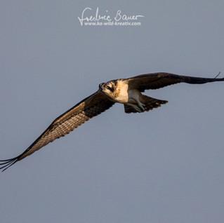 Fischadler-9254.jpg