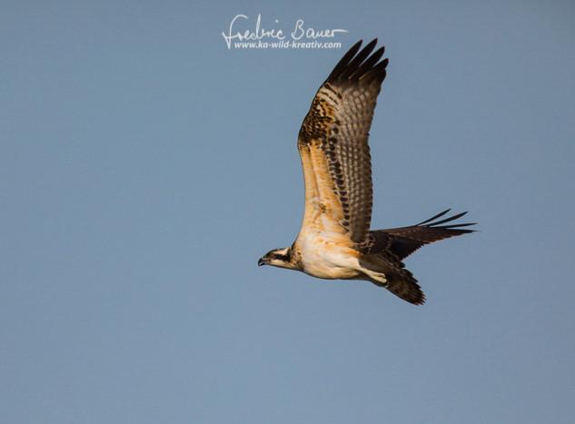 Fischadler-9272.jpg