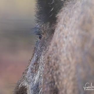 Wildschwein-4612.jpg