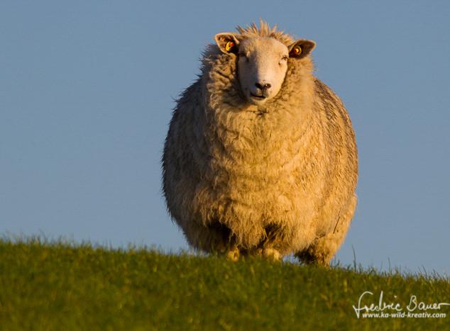 Schafe-037.jpg