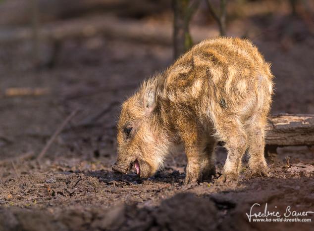 Wildschwein-4286.jpg