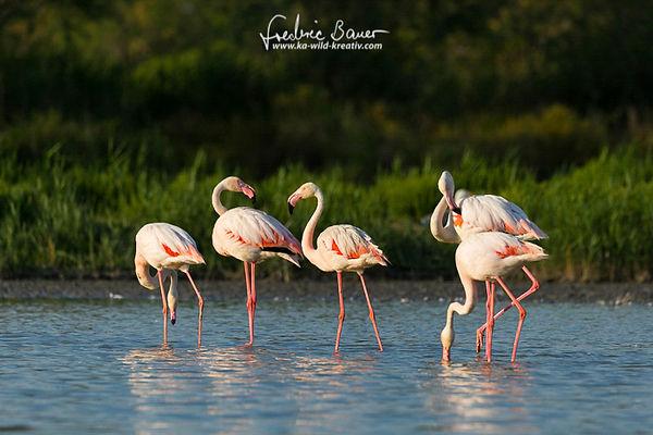 Unterschiedliche Aktivitäten der Flamingos bei Abendlicht