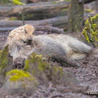 Wildschwein-4226.jpg