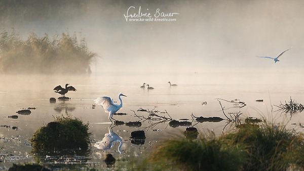 Silberreiher Im Morgennebel-5936.jpg