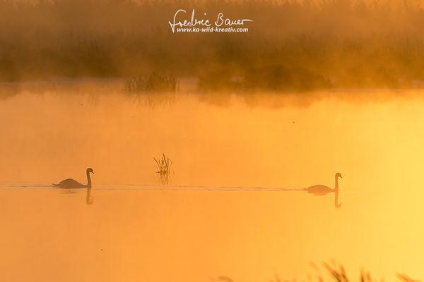 Zwei Hoeckerschwaene schwimmen im Morgennebel im Gegenlicht auf dem See