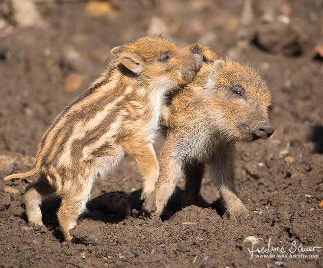 Wildschwein-7541.jpg