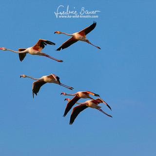 Flamingo-1974.jpg