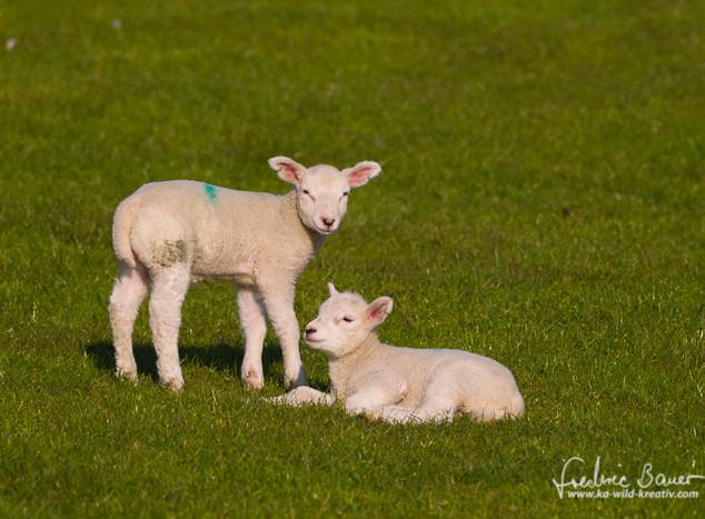 Schafe-005.jpg