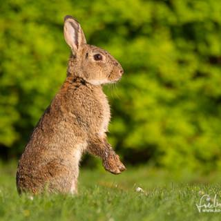 Kaninchen-8554.jpg