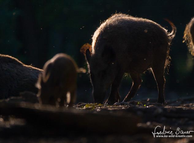 Wildschwein-9892.jpg