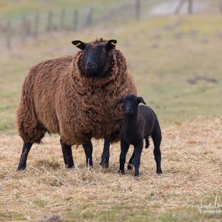 Schafe-016.jpg
