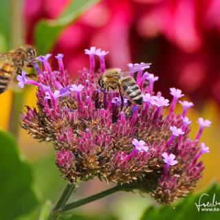 Honigbiene-IMG_8204.jpg