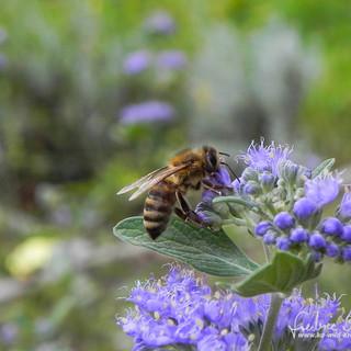 Honigbiene-DSCN0117.jpg