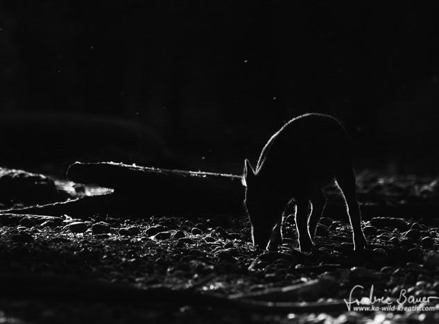Wildschwein-0276.jpg