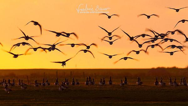 Nonnengaense im Schwarm beim abendlichen Abflug-258.jpg