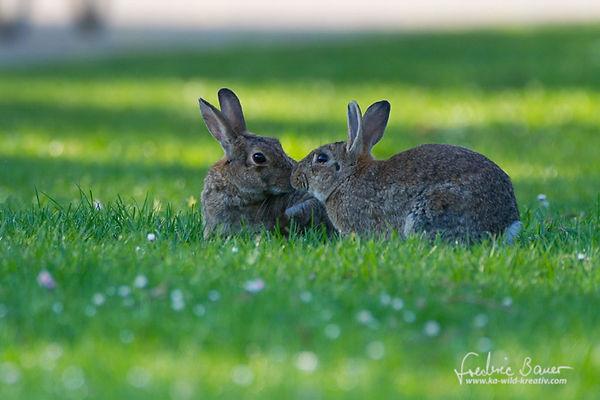 Ein Küsschen unter Kaninchen