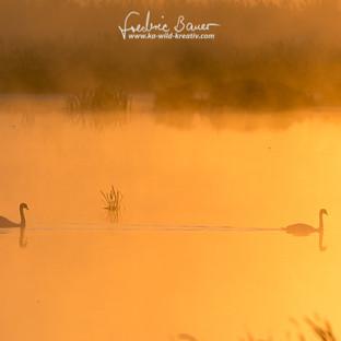 Hoeckerschwan-Leuchtendes Morgenerwachen515.jpg