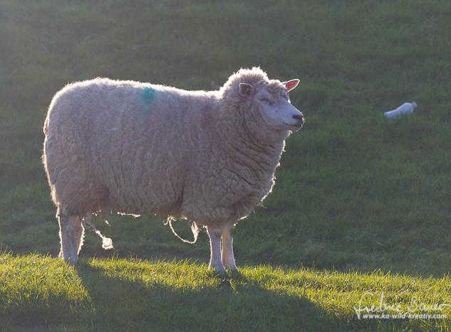 Schafe-019.jpg