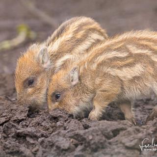 Wildschwein-4244.jpg