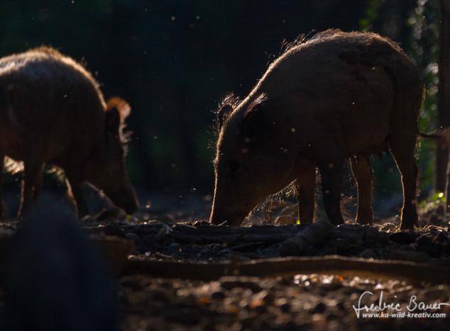 Wildschwein-9936.jpg