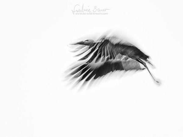 Landeanflug des Weißstorchs