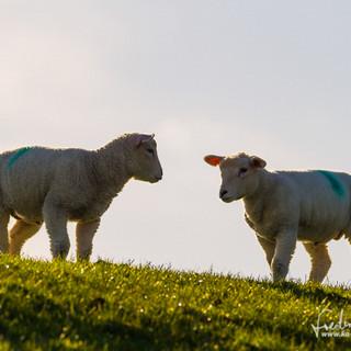 Schafe-008.jpg
