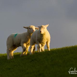 Schafe-113.jpg