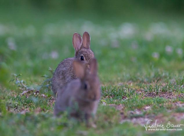 Kaninchen-3426.jpg