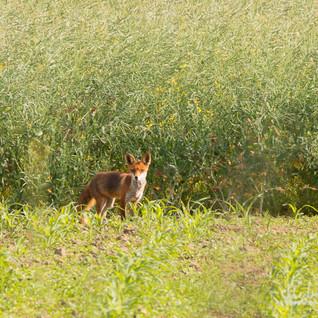 Fuchs-014 (2).jpg