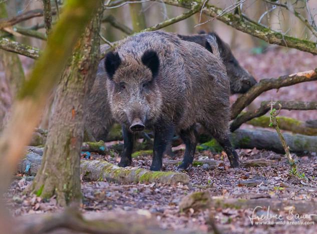 Wildschwein-9928.jpg