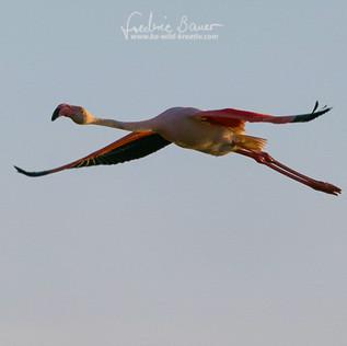 Flamingo-2060.jpg