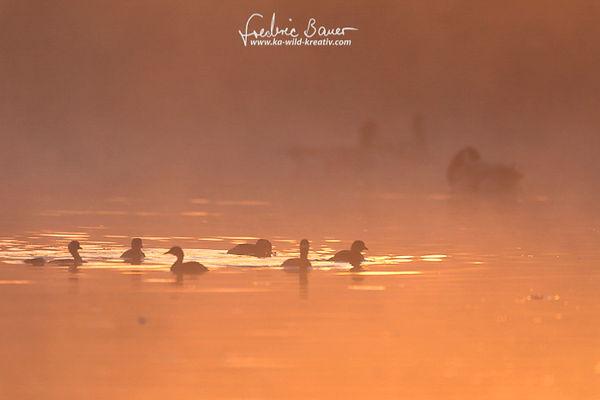 Bei Sonnenaufgang und Sonnennebel schwamm diese Gruppe Zwergtaucher an mir vorbei