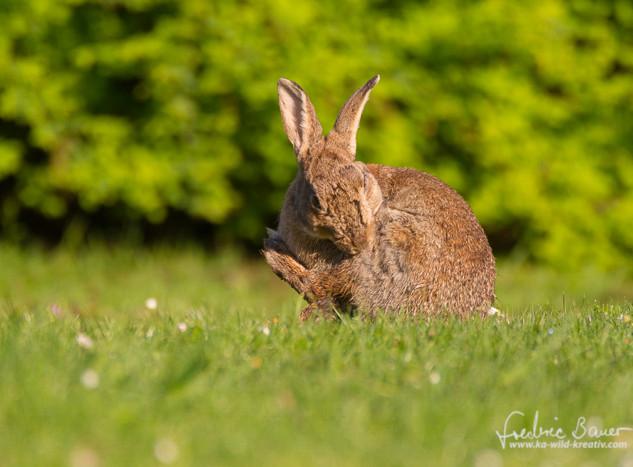 Kaninchen-8471.jpg