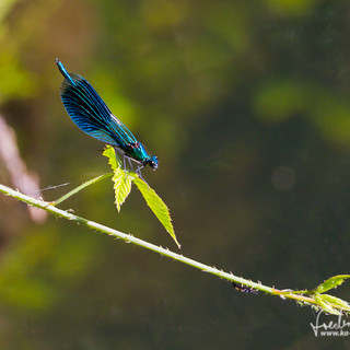 Blaufluegel-Prachtlibelle-CMH_4082.jpg