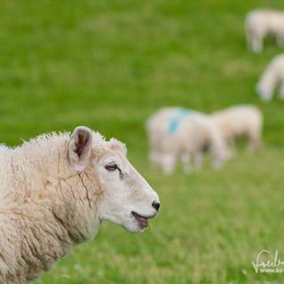 Schafe-112.jpg