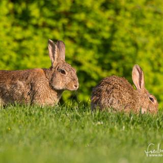 Kaninchen-8569.jpg