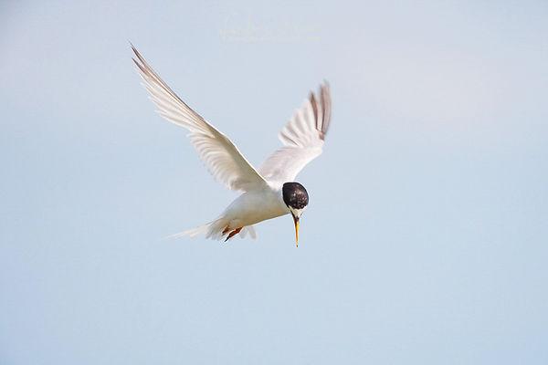 Zwergseeschwalbe im Rüttelflug