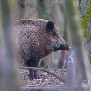 Wildschwein-0044.jpg