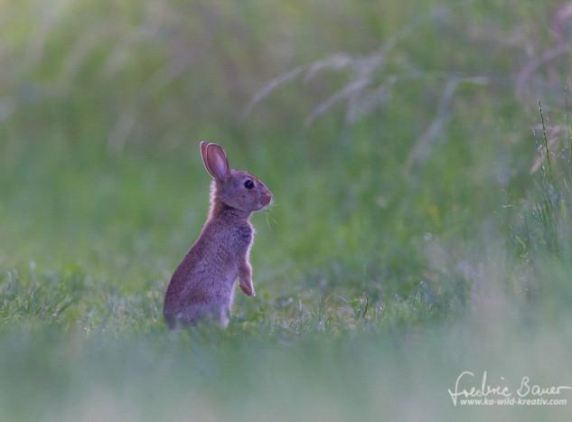 Kaninchen-3302.jpg