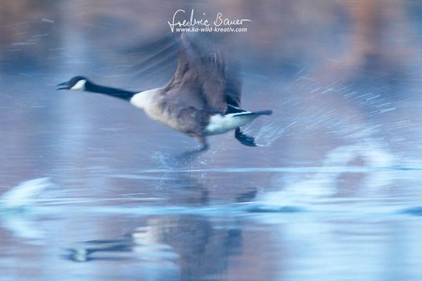 Kanadagans rennt über das Wasser (mit langer Verschlusszeit fotografiert)-4374.jpg