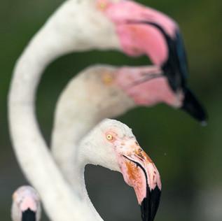 Flamingo-1612.jpg