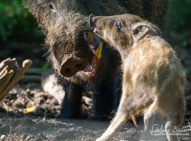 Wildschwein-0154.jpg