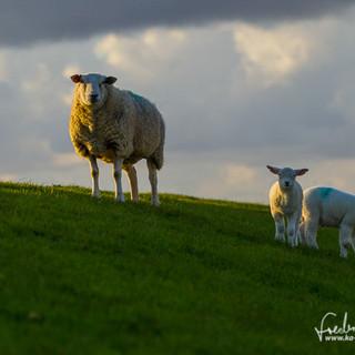 Schafe-130.jpg