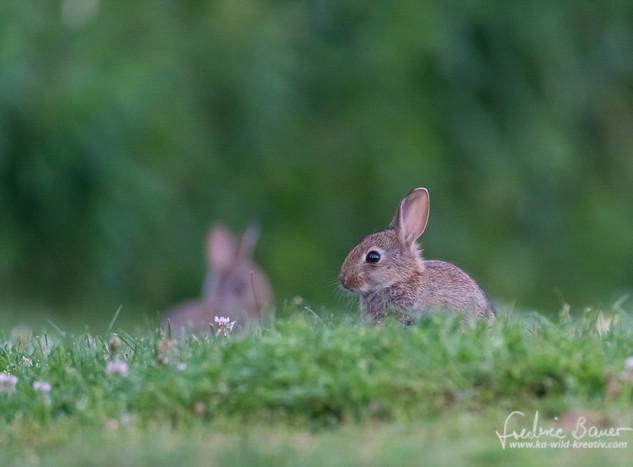 Kaninchen-3395.jpg