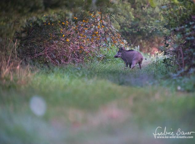 Wildschwein-0299.jpg