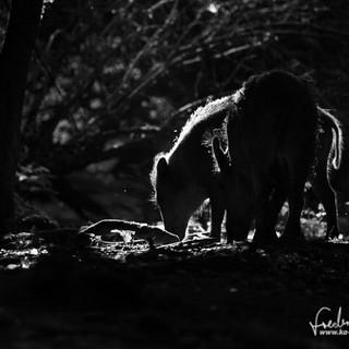 Wildschwein-9829.jpg