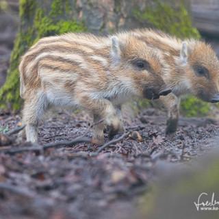 Wildschwein-3944.jpg